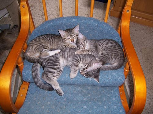 The Menifee Valley Humane Society has this litter of 5-month old kittens