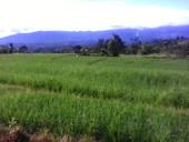 padi lagi hijau