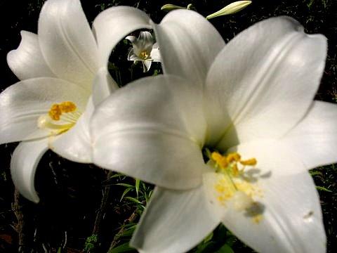 petite fleur blanche lys blanc paysages et fleurs au. Black Bedroom Furniture Sets. Home Design Ideas