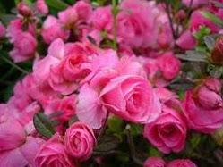 bunga_pink
