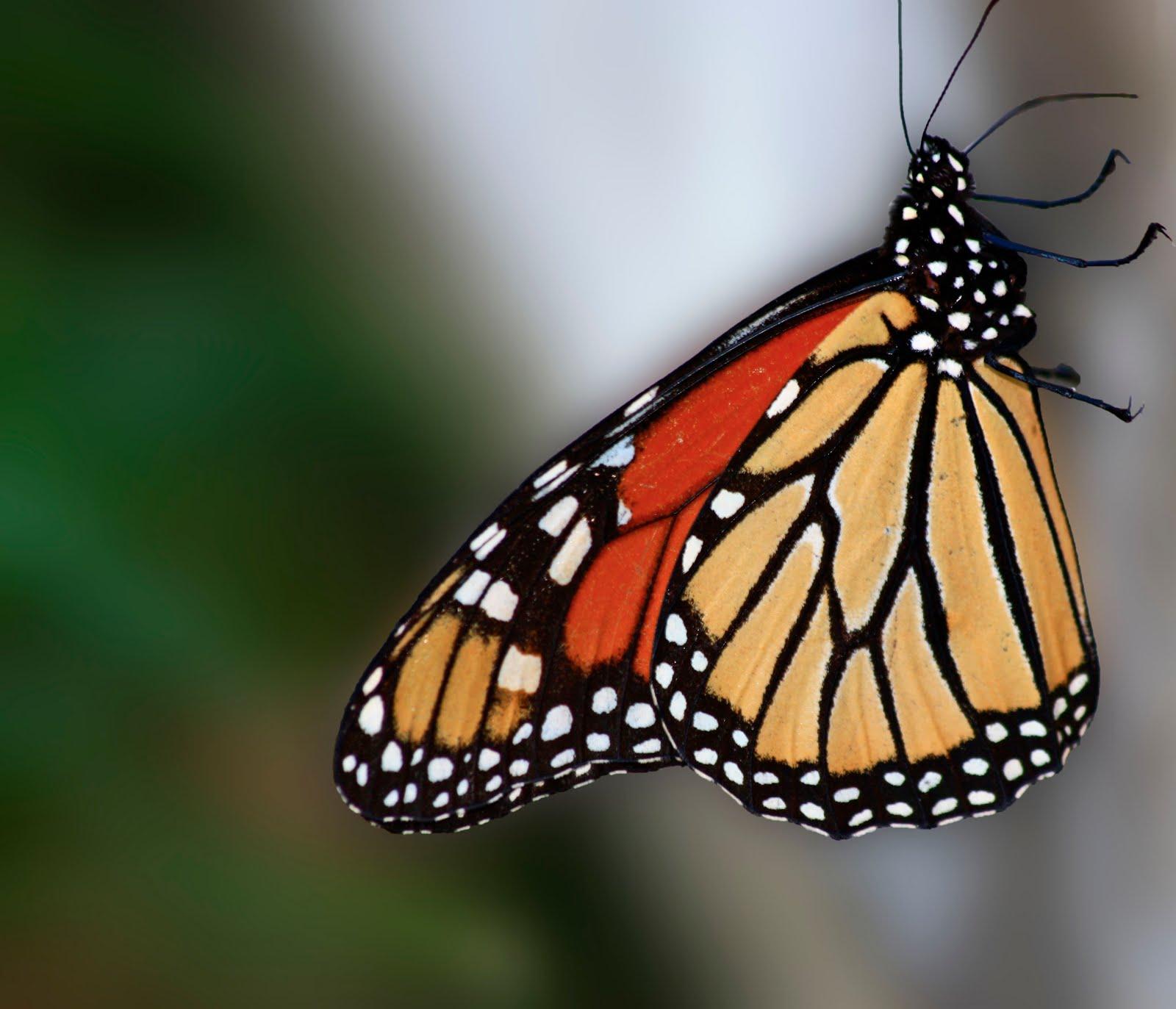 Monarch butterfly wings - photo#5