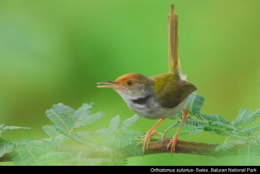 Nama : burung cinenen / ketinglar