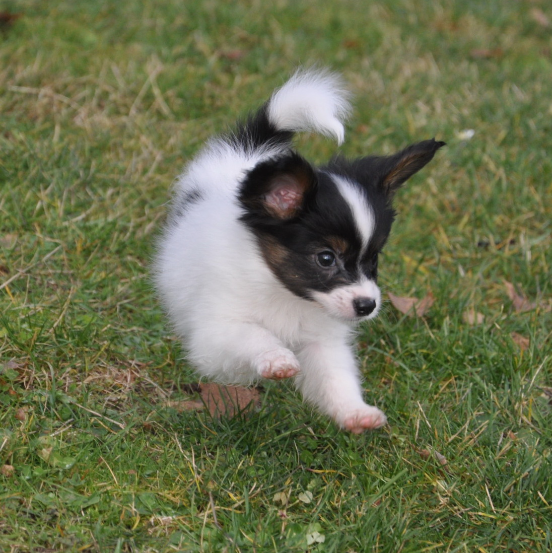 Road39;s End Papillons : 7 Week old Papillon Puppies