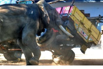 Terror unleashed: The elephant runs amok in Thrissur.