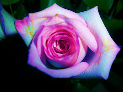 Rainbow Rose