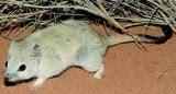 Amputa (Dasycercus hillieri)