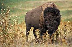 Bos bison (Linnaeus)