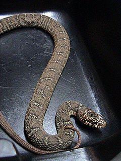 Concho Water Snake (Nerodia paucimaculata)