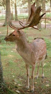 Fallow Deer (Cervus dama Linnaeus)