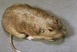 Yellow-faced Pocket Gopher (Cratogeomys castanops)