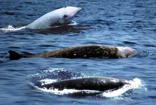Cuvier's Beaked Whale (Ziphius cavirostris G. Cuvier)