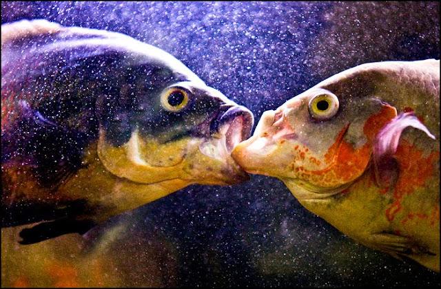 Oscar fish eye disease for What is an oscar fish