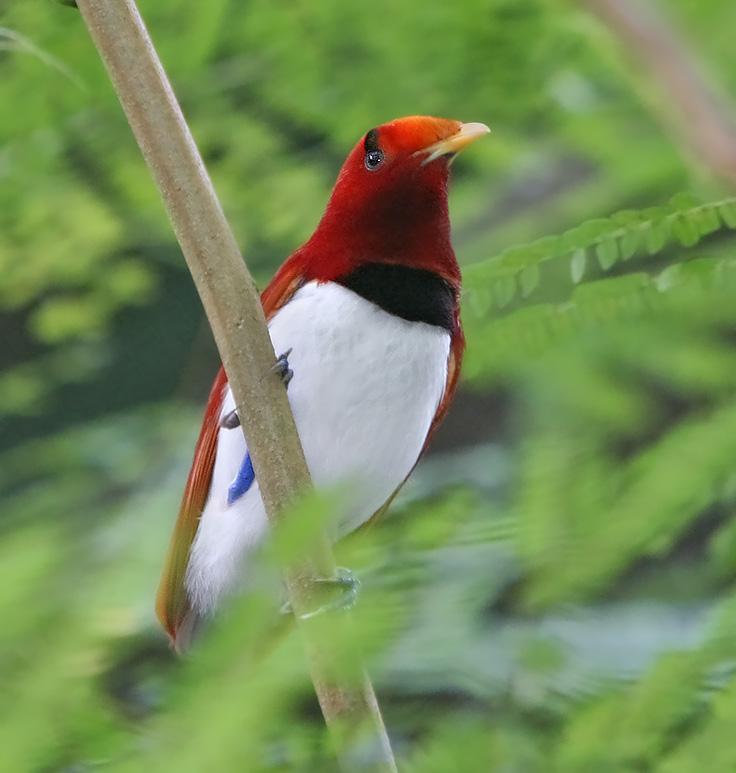 Королевская райская птица cicinnurus regius