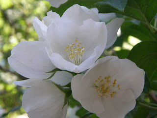 Amongst the oaks white flower challenge day 16 have four petals but this plants flowers have both four and five petals the scent is wonderful and i usually make a bouquet at least once mightylinksfo