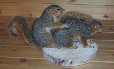 a couple of squirrels that have been stuffed and mounted by a taxidermist in a very compromising position
