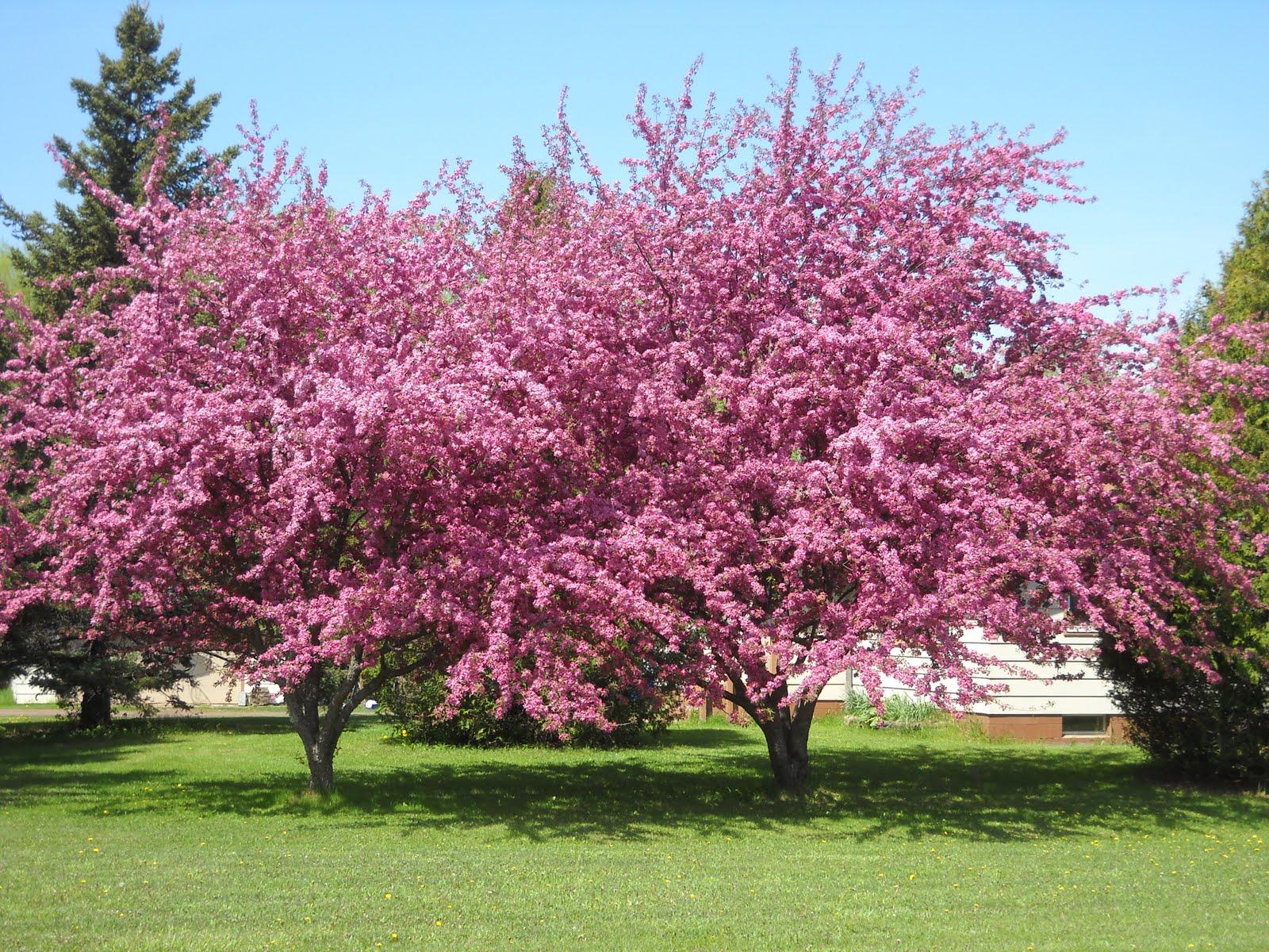 Art s Bayfield Almanac 5 17 10 THE DIVERSITY OF FLOWERING CRAB TREES