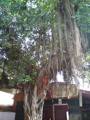 A Banyan tree in the Khandoba Temple premises