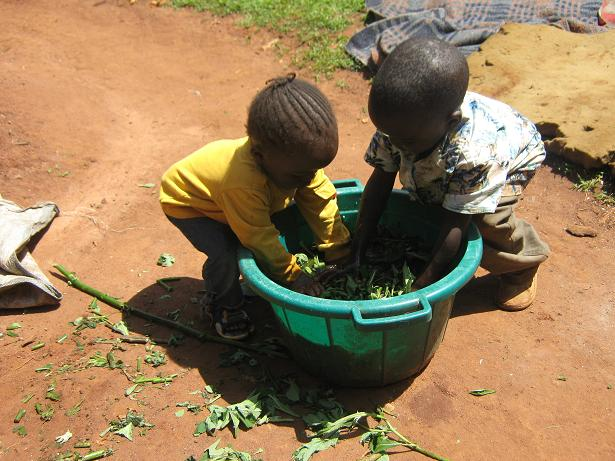 [7.Kids+help+in+soaking+of+Tithonium+herb+in+the+water,involving+Kids+is+a+good+idea+because+they+will+get+used+to+it+hence+fut]
