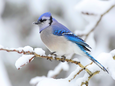 twenty two wallpaper. Blue Jay in Winter wallpaper, Only two companies make off-shore wind