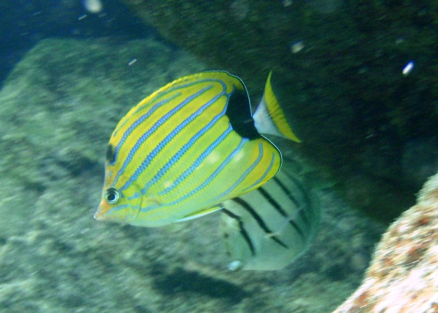 Striped convict fish