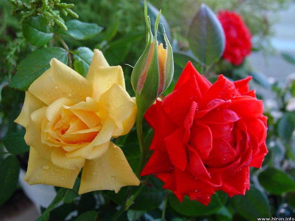 http://3.bp.blogspot.com/_eBRMxRW54qI/TUyfpUs-CxI/AAAAAAAAABs/N7V5R5PAd3U/s1600/red-and-yellow-roses-2d.jpg