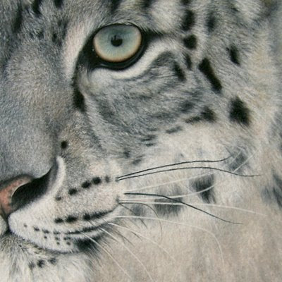 Snow leopard face side - photo#20