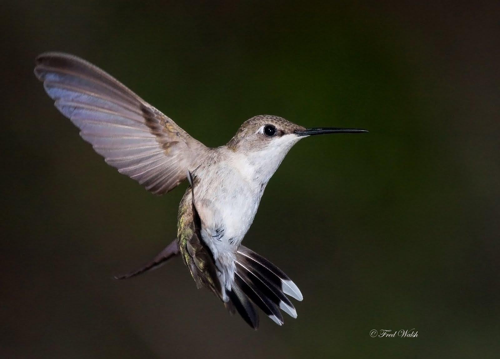fred walsh photos: Ruby Throated Hummingbird, female