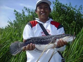 Tergila-gila Toman Lampung