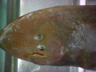 Coretan Linda Zizan: Keunikkan Ikan Sebelah a.k.a Pseud