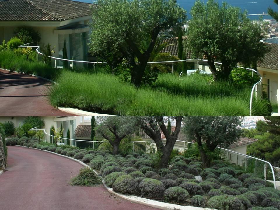 Jardins cosmopolites taille estivale de la lavande cas pratique r alis cannes ao t 2010 for Jardin taille olivier