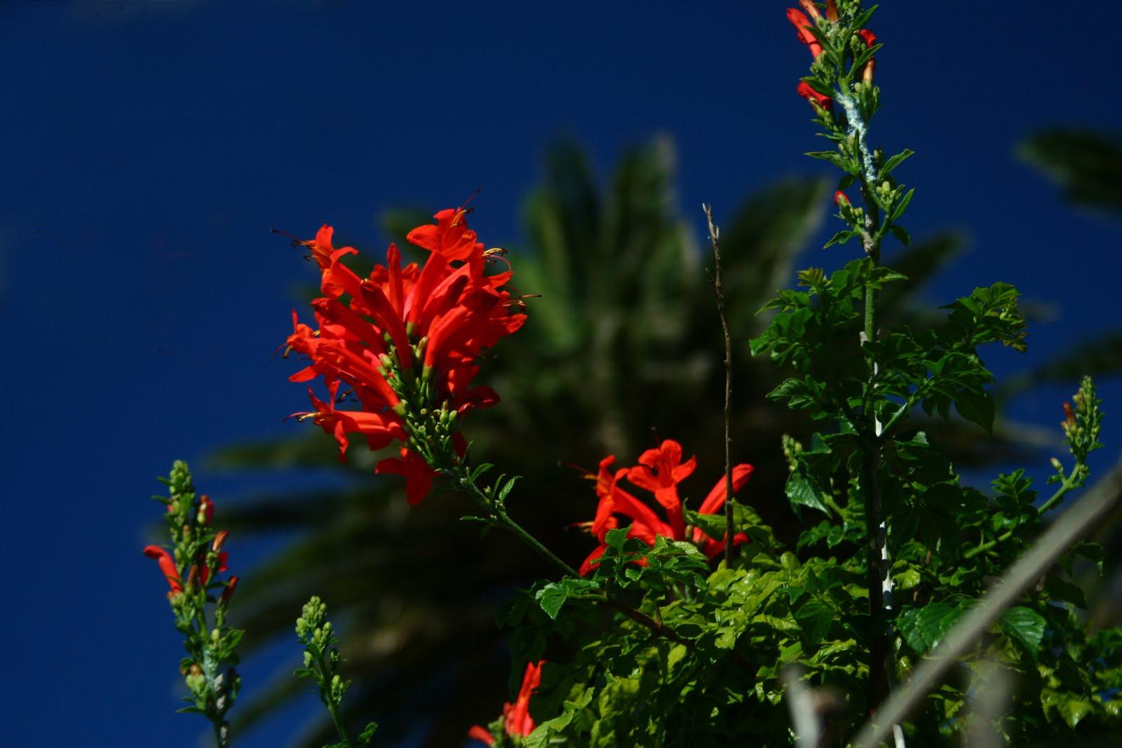 jardins cosmopolites: la plante de la semaine: tecoma capensis ou