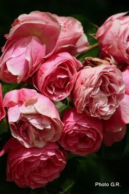 jardins cosmopolites la plante de la semaine rosier leonard de vinci. Black Bedroom Furniture Sets. Home Design Ideas