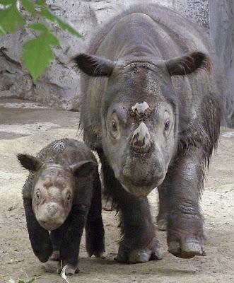 sunatran rhino died