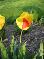 yellow mixed tulip