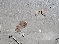 Sand Dollars Hilton Head
