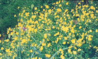 yellow buttercups