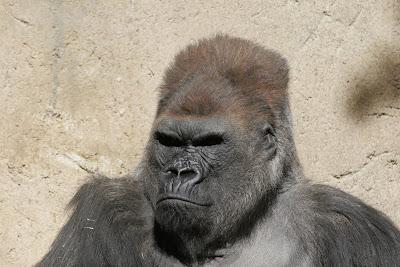 gorila carudo