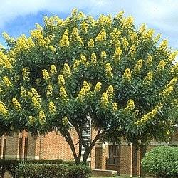 Paisajista laila huber rboles nativos senna spectabilis for Arboles de hoja perenne y crecimiento rapido para jardin