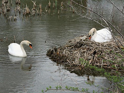Nesting Swans Lake Logan