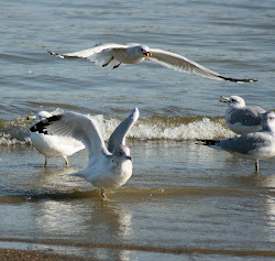 Seagull's At Caesar Creek Lake