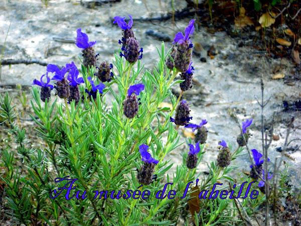 Fleurs de lavande stoechas