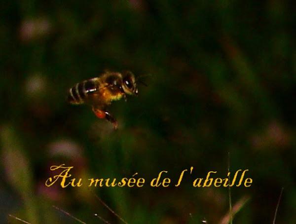 L'abeille tellienne