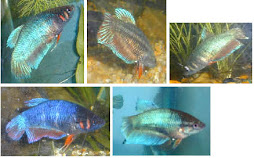 Kiat-kiat Memelihara Ikan Cupang
