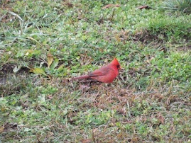 Red Cardinal Rules in the Wintertime