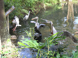 Wood Storks Feeding at Palm Beach Zoo
