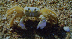 Ghost Crab & I Seeing Eye to Eye