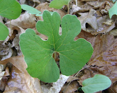 Leaf of Bloodroot