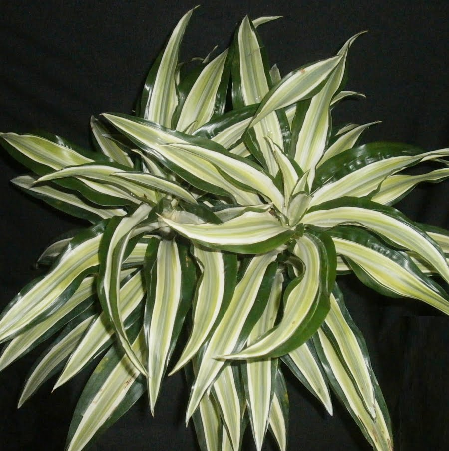 Displaying 15> Images For - Dracaena Fragrans Lemon Lime...