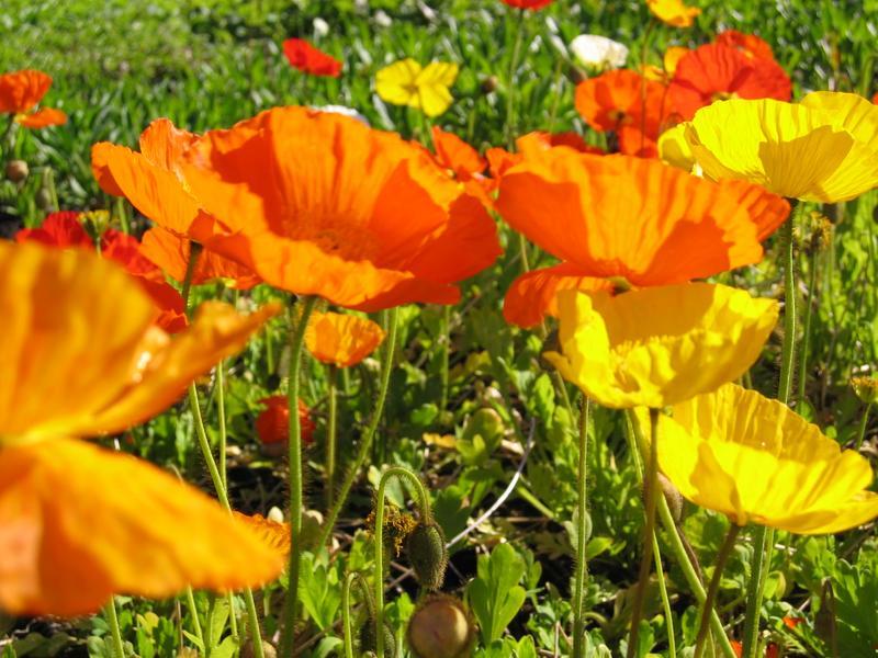 Mundo jardin amapolas papaver spp for Amapola jardin de infantes palermo