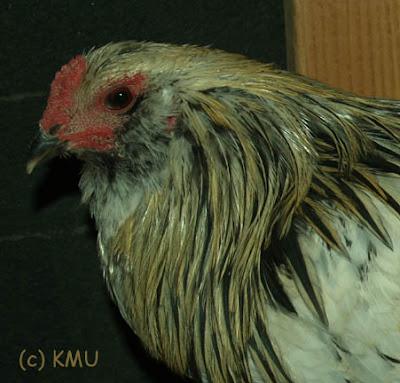 Easter Egger Rooster